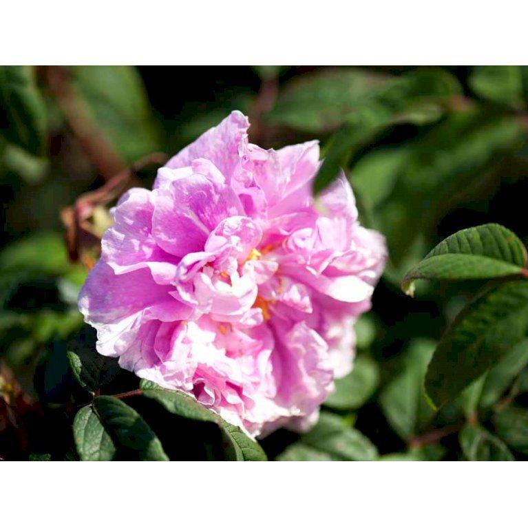 Rynket rose 'Thérèse Bugnet'