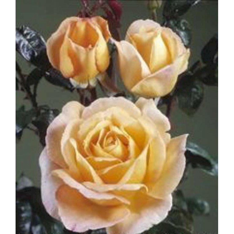 Storblomstrende rose 'Scented Memory'