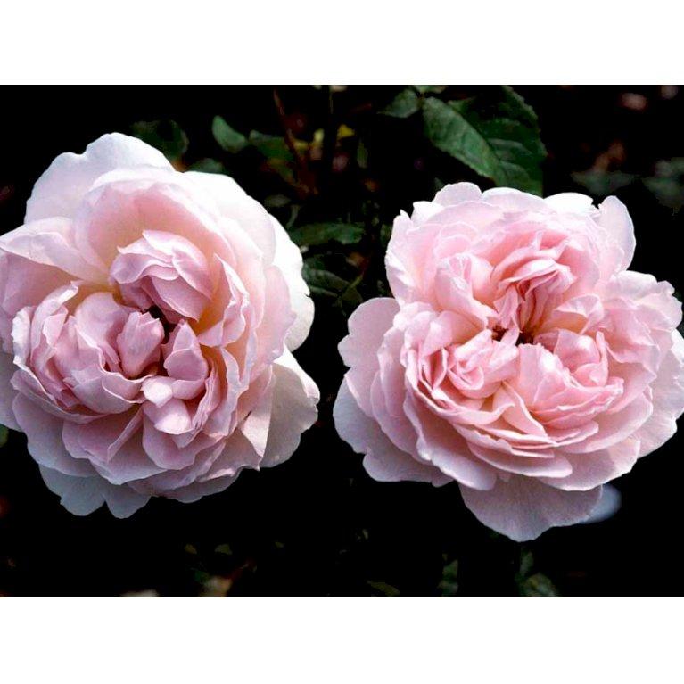 Engelsk rose 'Sharifa Asma'
