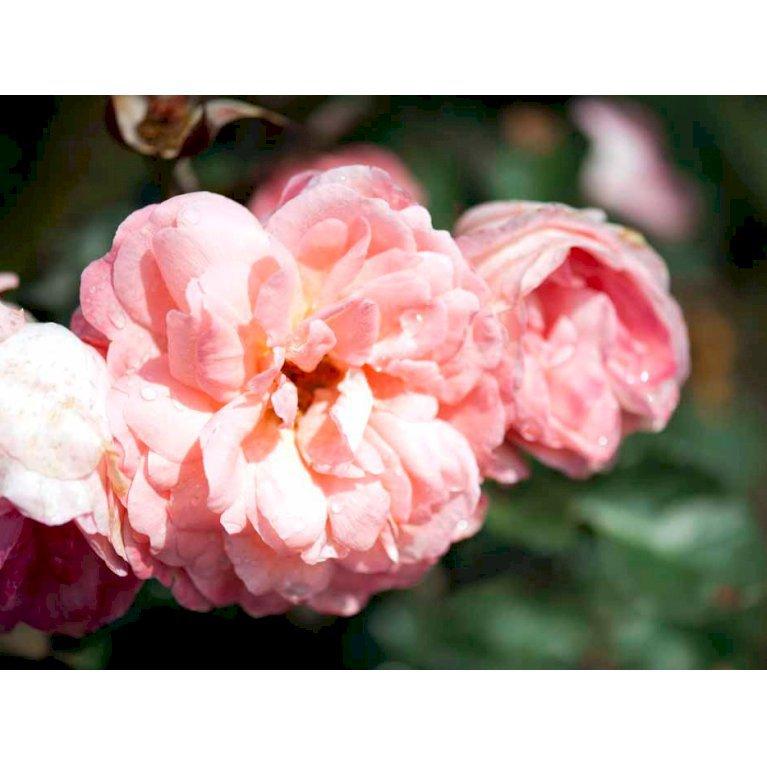 Renaissance rose 'Sissel Renaisssance'