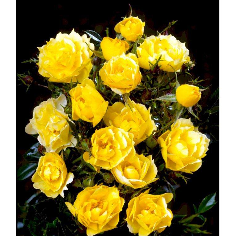 Bunddækkende Rose 'Sun Cover' ®