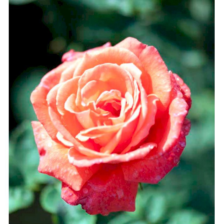 Storblomstrende Rose 'Super Star' ®