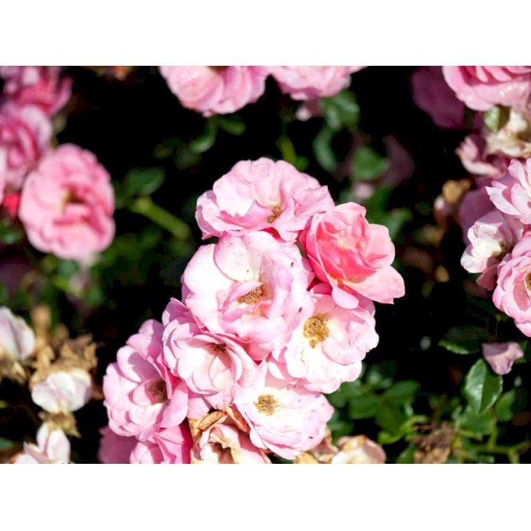 Bunddækkende Rose 'Sweet Cover'