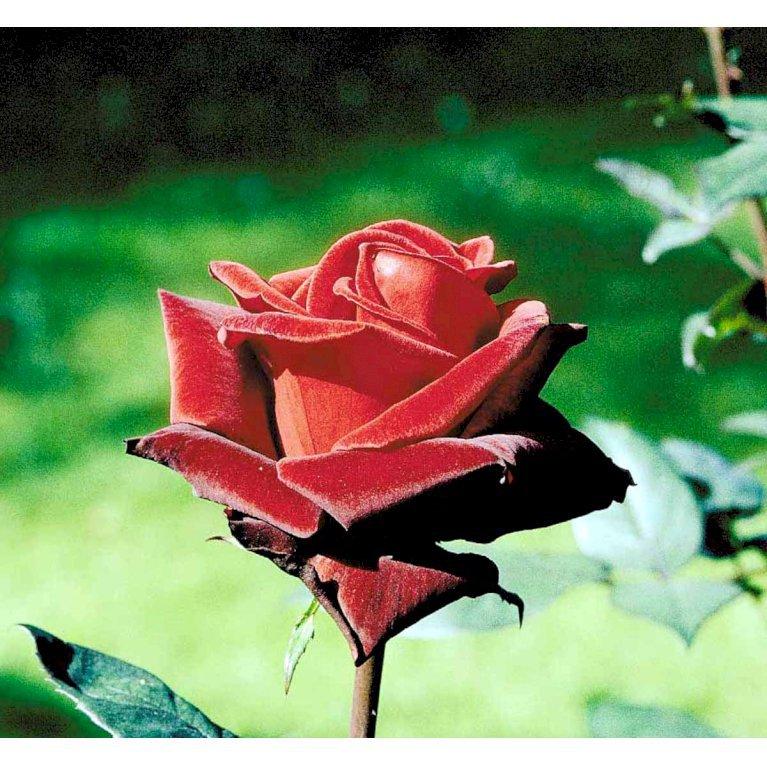 Storblomstrende Rose 'Barkarole'