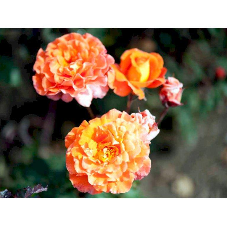 Storblomstrende rose 'Tea Time'