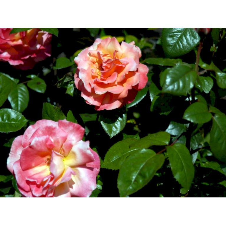 Storblomstrende Rose 'Troika'
