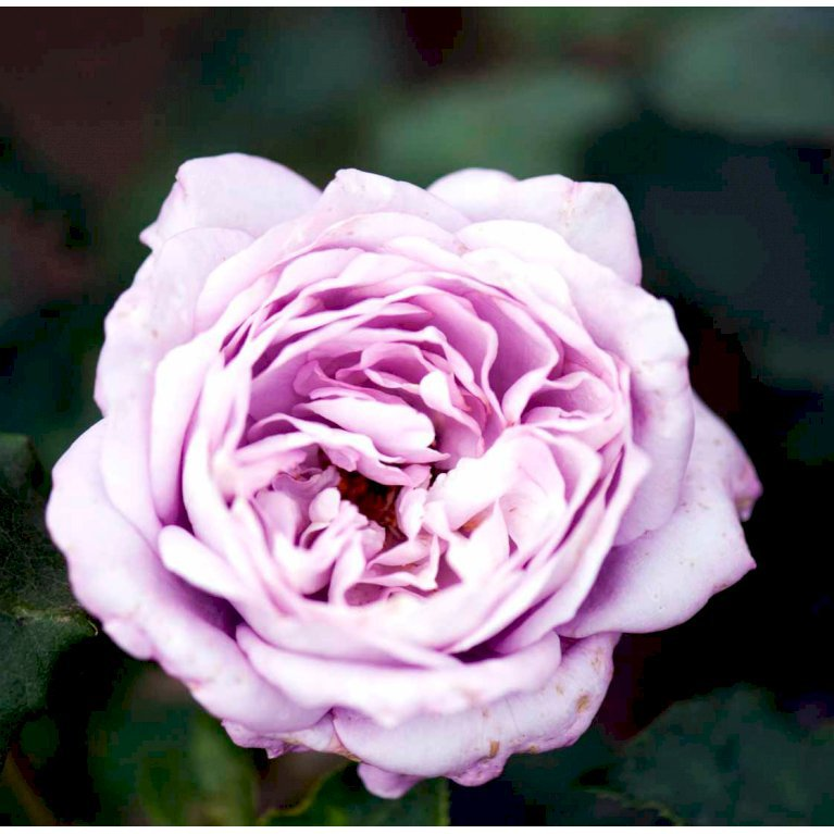 Storblomstrende rose 'Twice in a Blue Moon'
