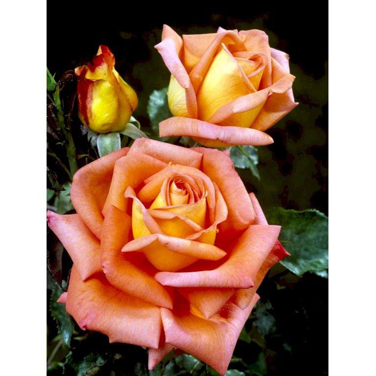 Storblomstrende Rose 'Victor Borge' ®
