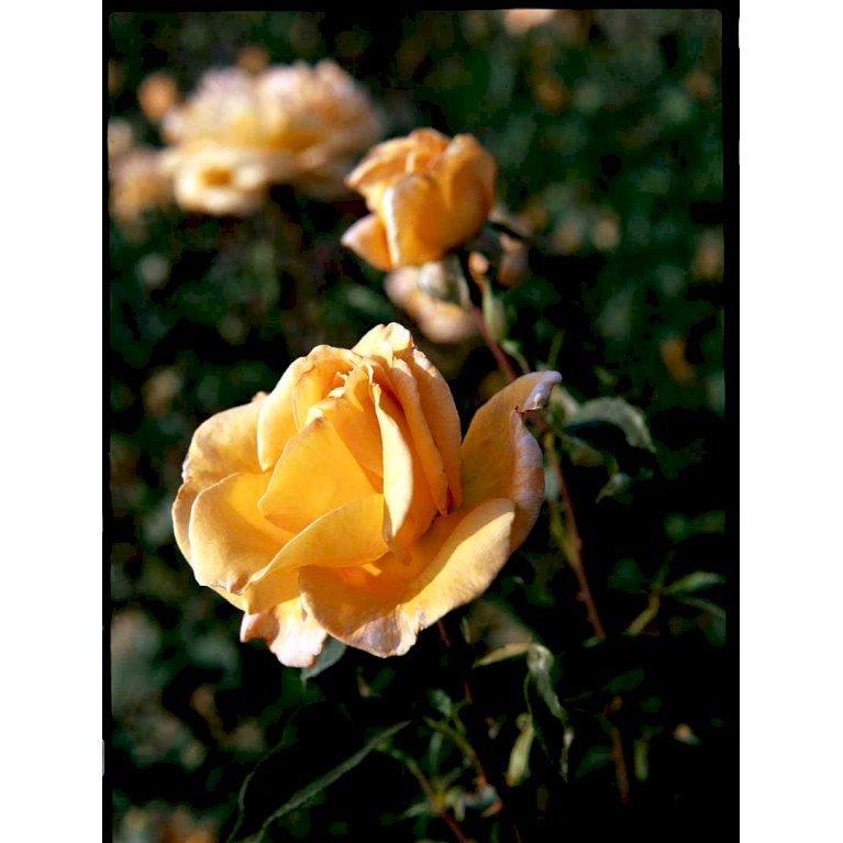 Storblomstrende Rose 'Whisky Mac'