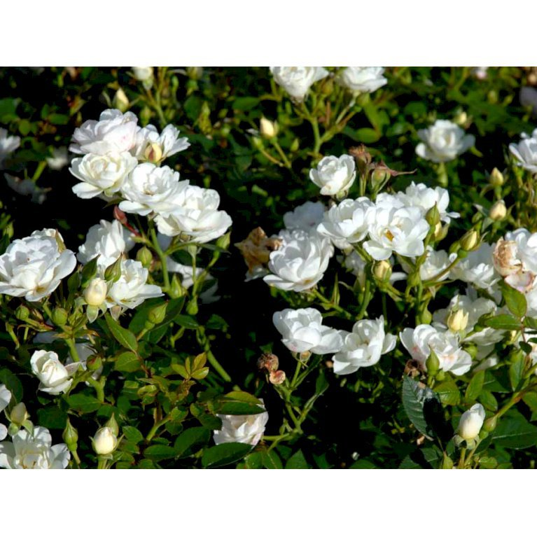 Bunddækkende Rose 'White Cover' ®