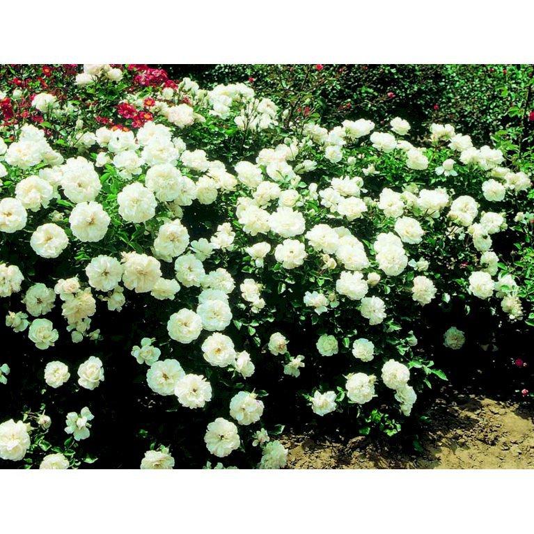 Buketrose 'White Meidiland'