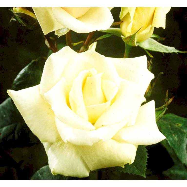 Slyngrose 'White Nights'