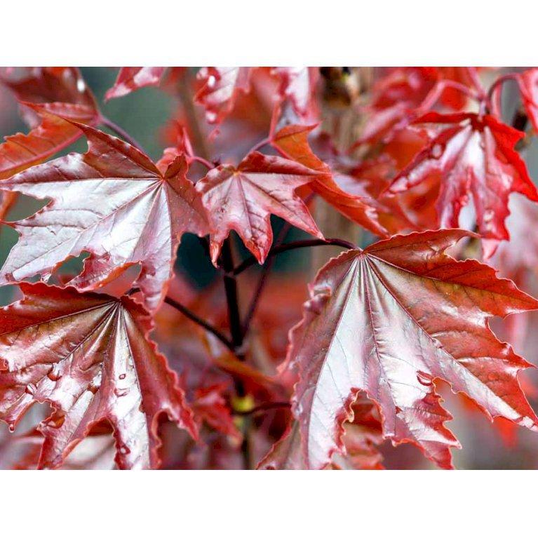 Rødbladet Spidsløn