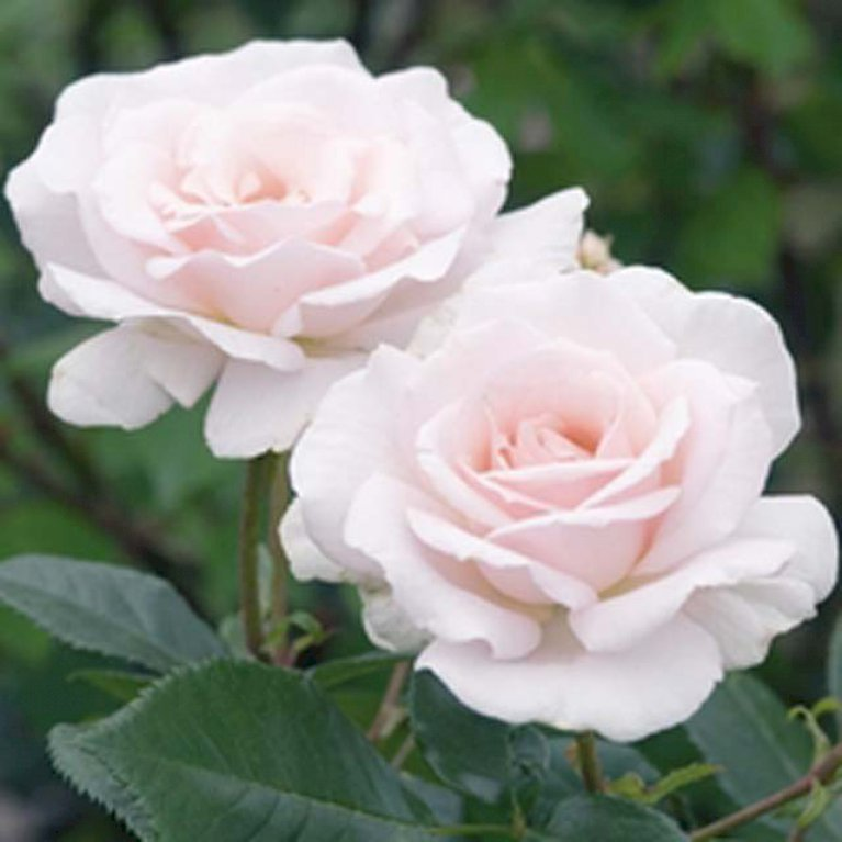Storblomsterne rose 'A white shade of Pale'
