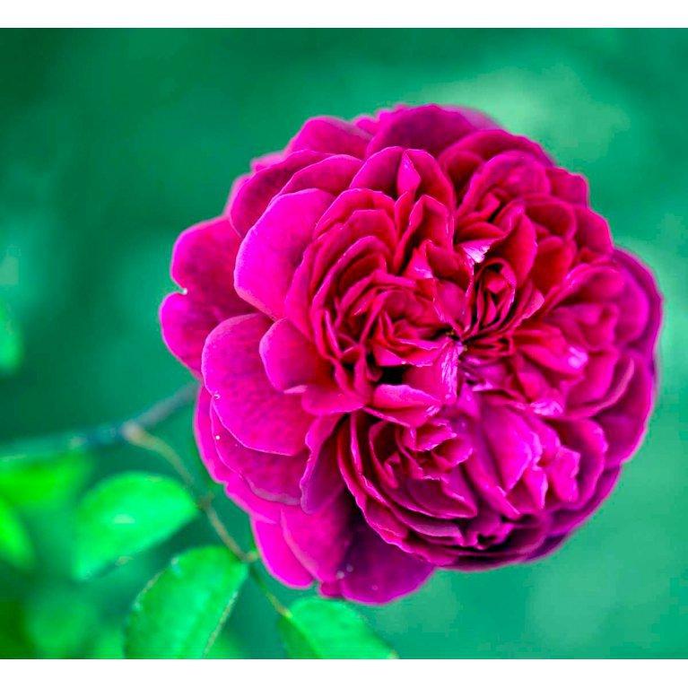 Engelsk rose 'William Shakespeare 2000'