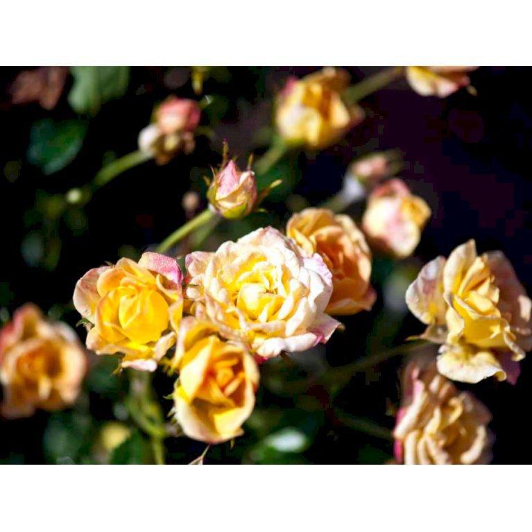 Bunddækkende rose 'Yellow The Fairy'