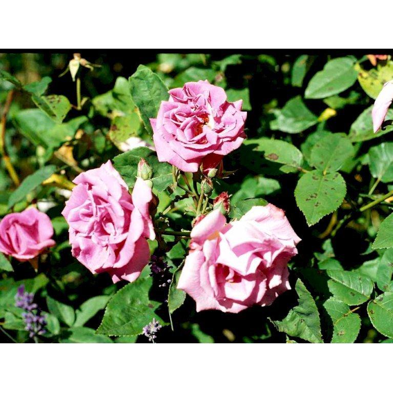 Gammeldags Rose 'Zéphirine Drouhin'