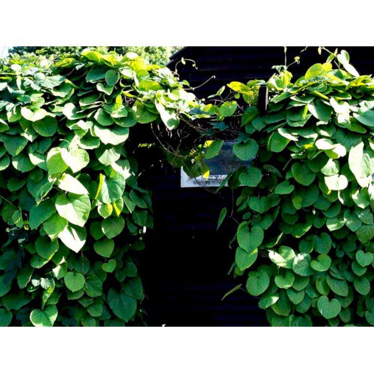 Tobakspibeplante
