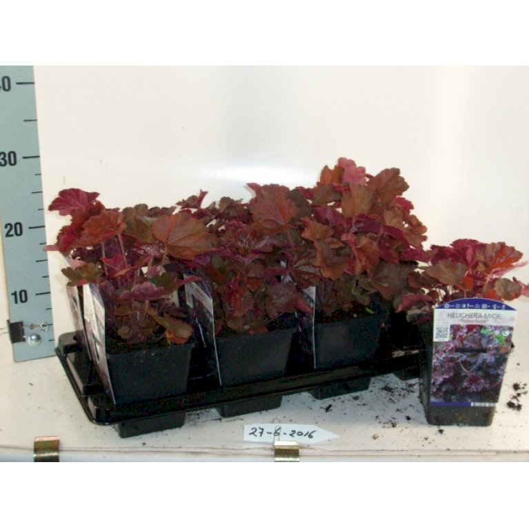 Purpur Alunrod 'Palace Purple'