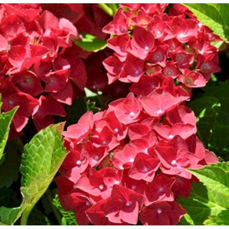 Hortensia 'Hot Red'