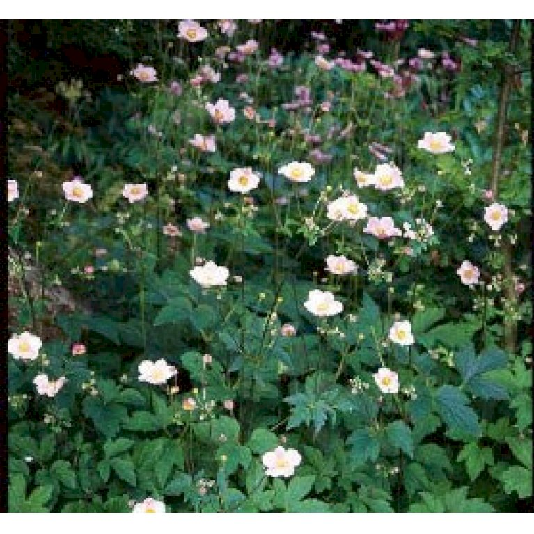 Anemone 'Rosea'