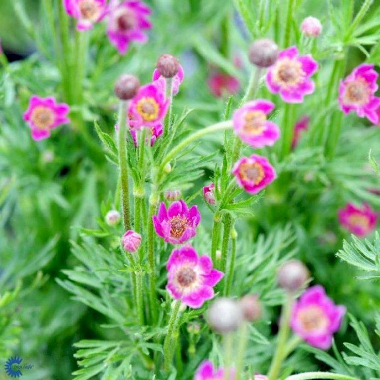Anemone 'Annabella Deep Rose'