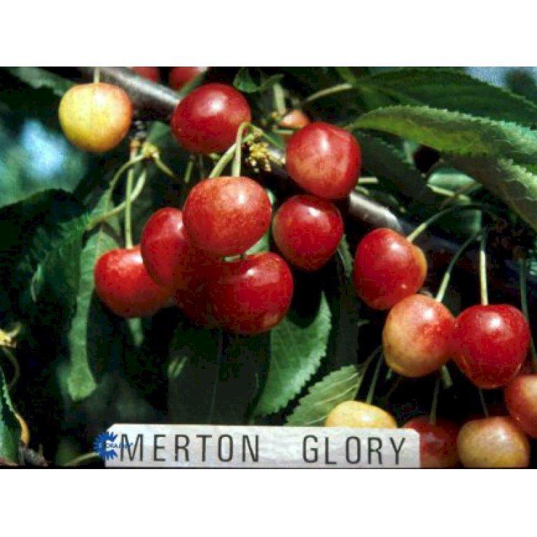 Sød Kirsebær  'Merton Glory'