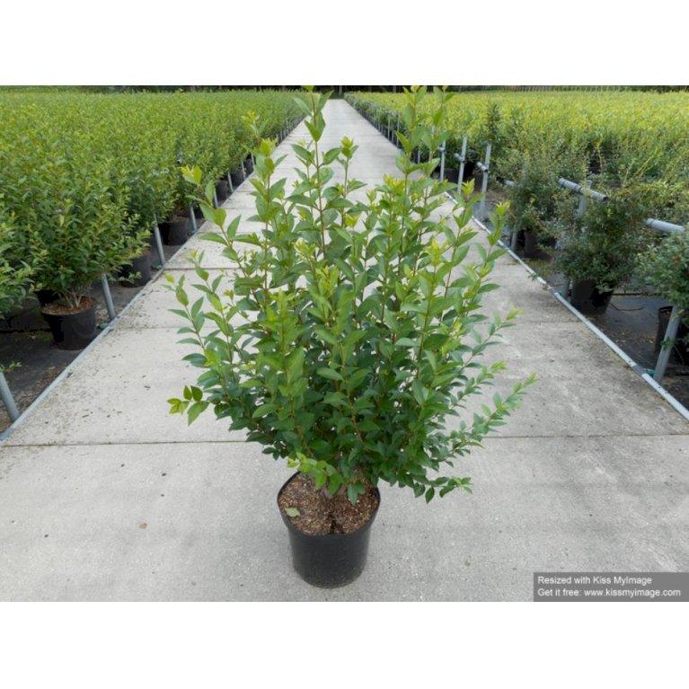 Stedsegrøn, Storbladet Liguster