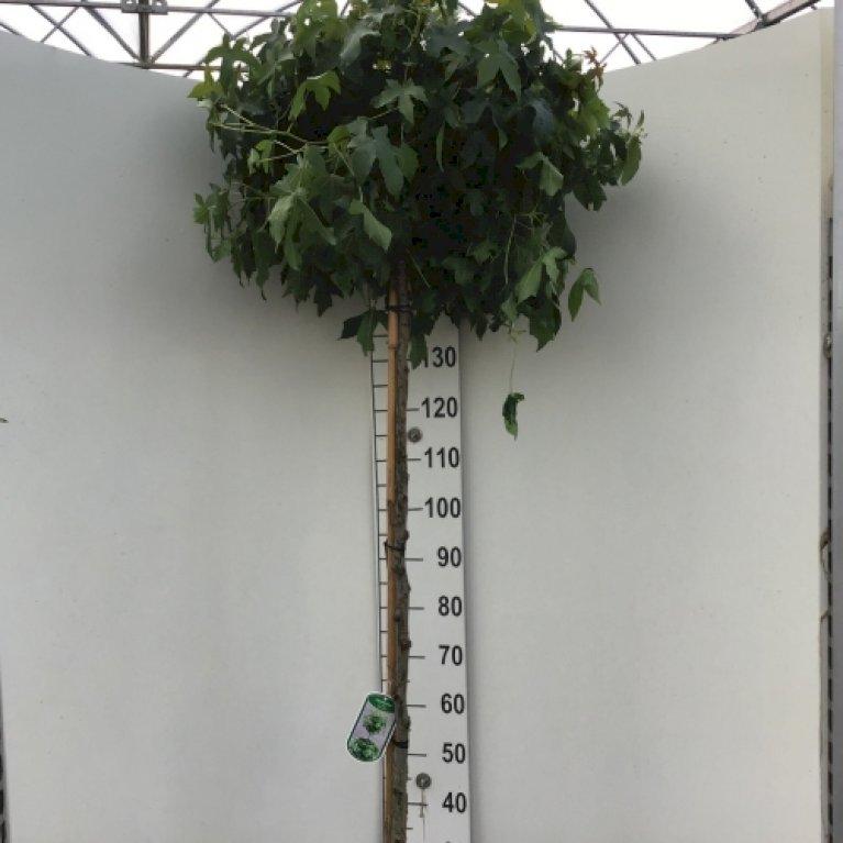 Tyggegummitræ 'Gumball'