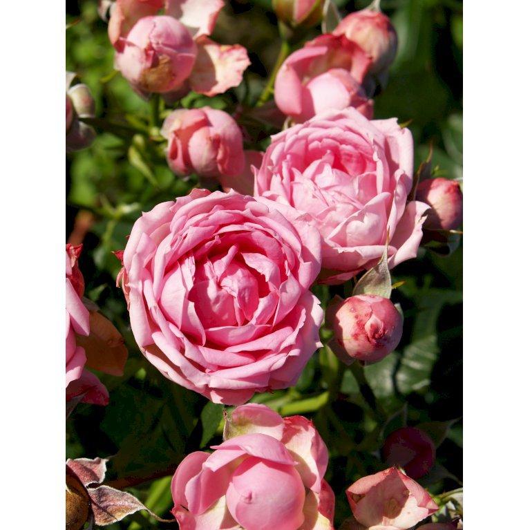Rose Jasmina Flower Circus