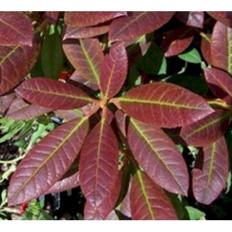 Rødbladet Rhododendron Elizabeth