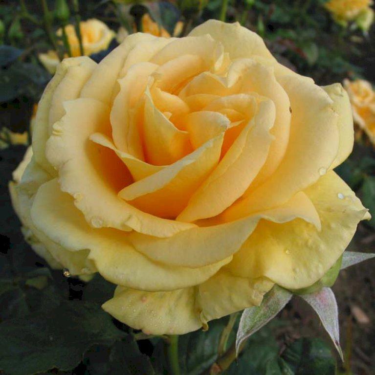 Storblomstrende rose 'Wonderful'