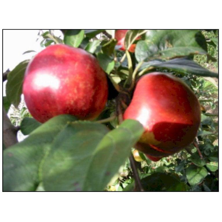 Æble 'Angold