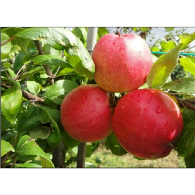 Æble 'Collina