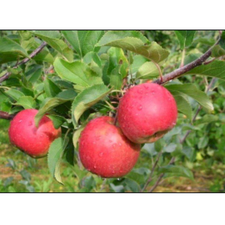 Æble 'Santana' - Allergifri