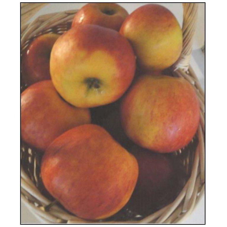 Æble 'Pirouette-Rubinstep'