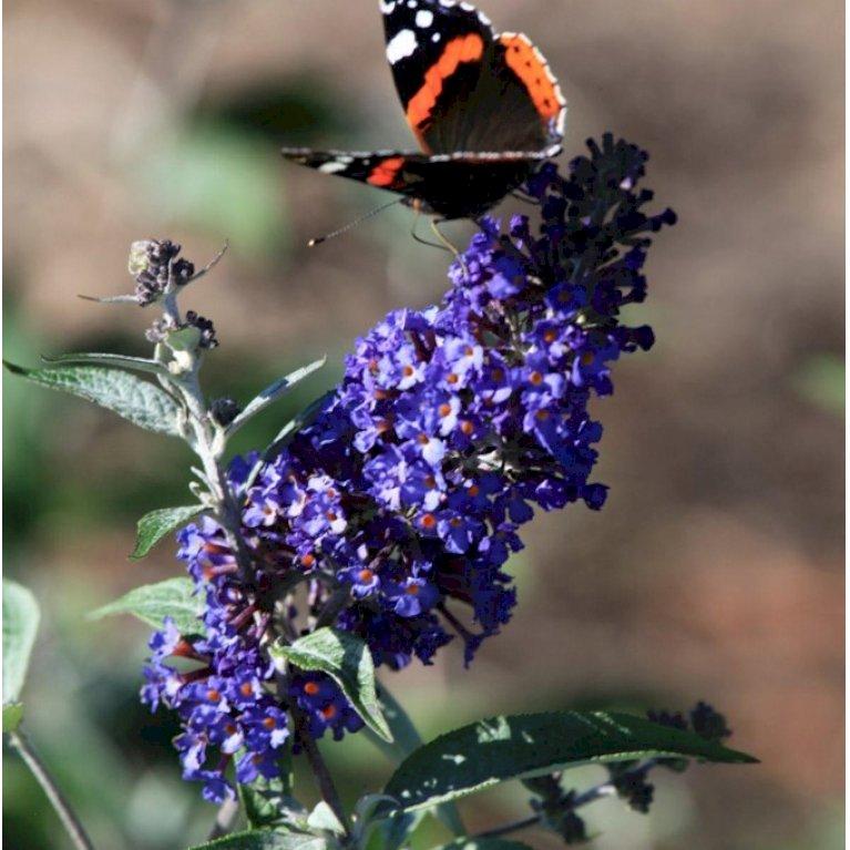 Sommerfuglebusk 'Ellens Blue'