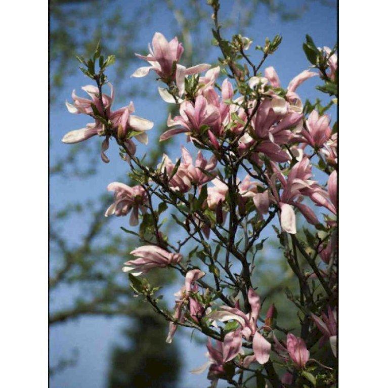 Magnolia liliiflora 'Susan'