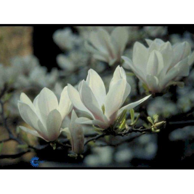Tulipantræ