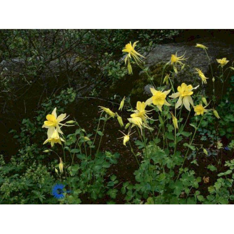 Langsporet Akeleje 'Yellow Queen'