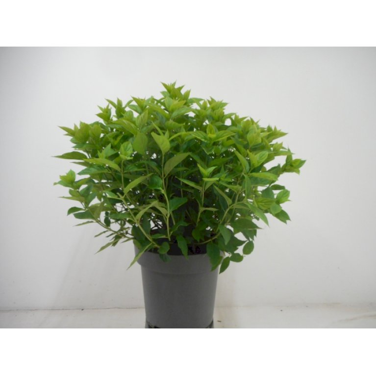 Have-hortensia  'Little Lime'