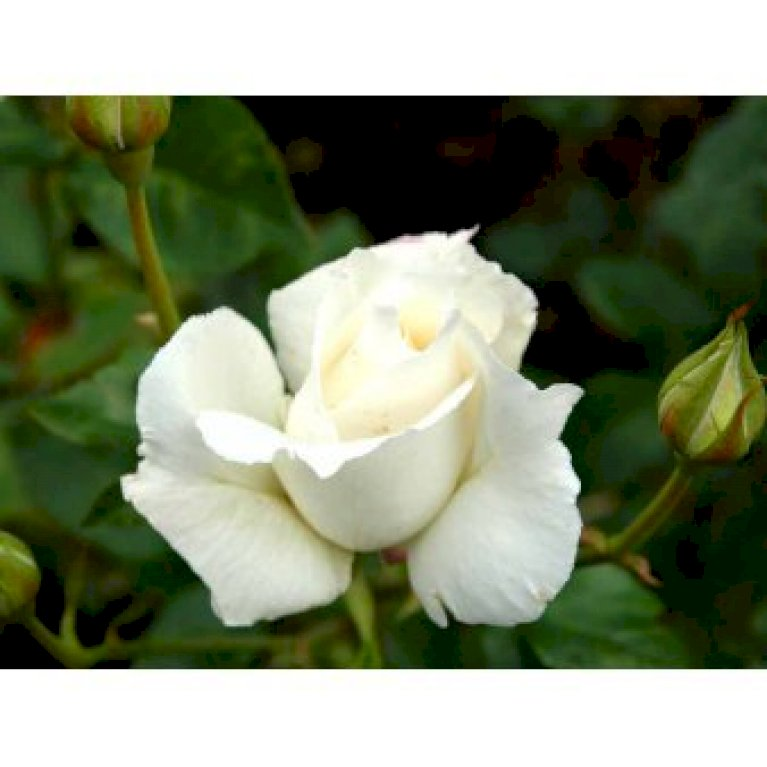 Slyngrose 'White New Dawn'