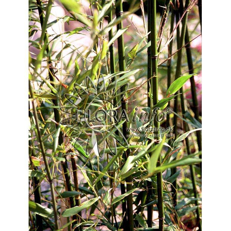 Glansbladet Bambus