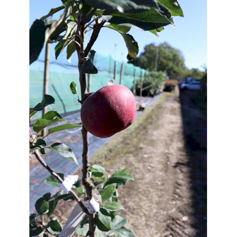 Æble 'Rosette' - NYHED