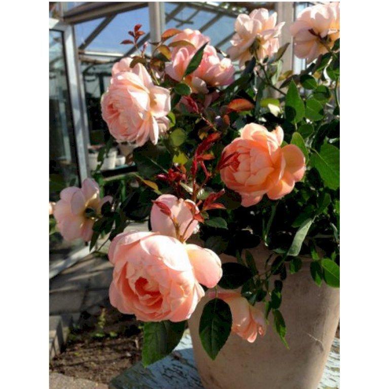 Buketrose 'From far Away' plant'n'relax