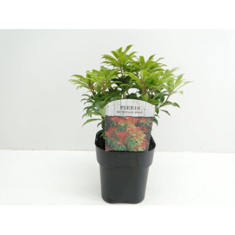 Pieris japonica 'Mountain Fire'