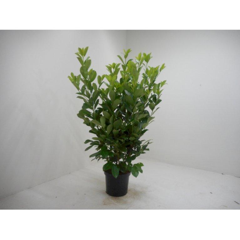 Kirsebærlaurbær 'Rotundifolia'