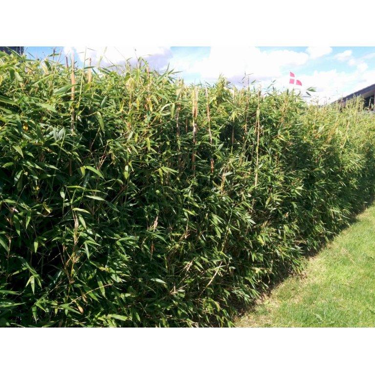 Gul Bambus 'Rufa'