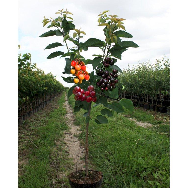 Familietræ Kirsebær med 3 sorter