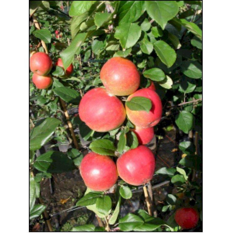 Æble 'Ahrista'